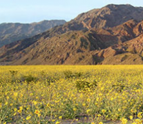 The Spectacular Wildflowers of Death Valley