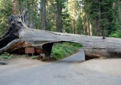 Sequoia National Park's Tunnel Log